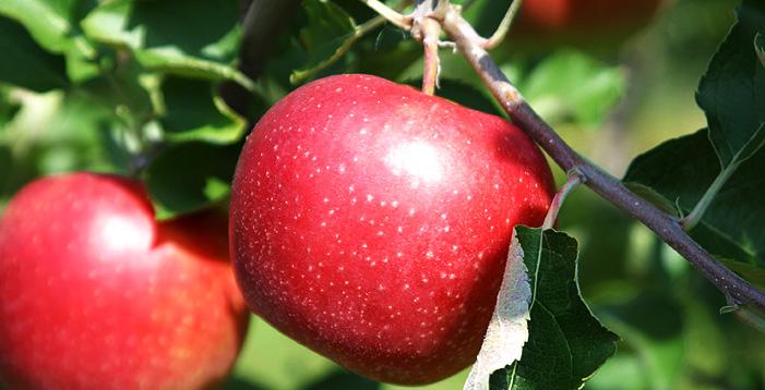 りんご(江刺りんごほか)